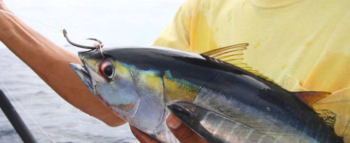 A blackfin tuna that has been bridled for trolling large live bait for marlin
