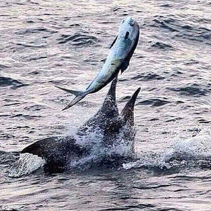 A marlin eating a dorado, mahi, dolphin.  Using large live bait for marlin.